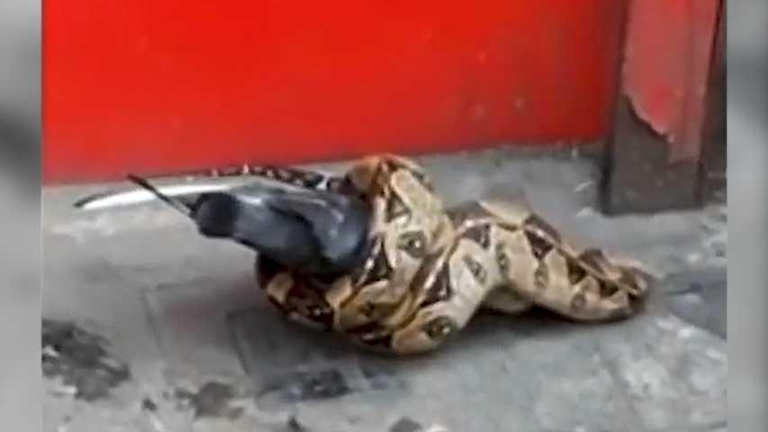 Coloriage Le Chien Et Le Pigeon.Un Serpent Devore Un Pigeon En Pleine Rue A Londres Video La Dh