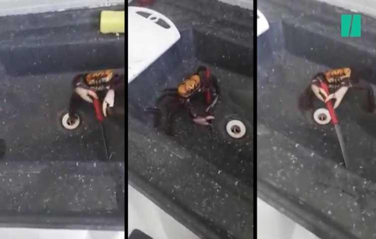 Crabe Avec Un Couteau cette vidéo virale d'un crabe qui se bat avec un couteau montre en